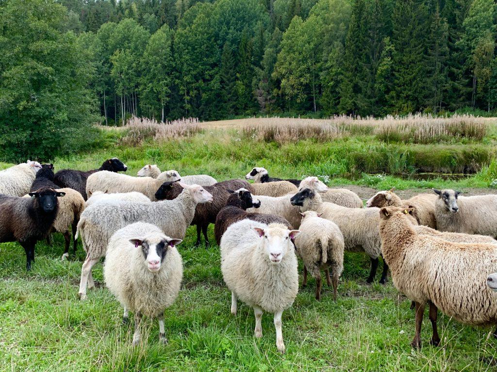 Markkulan lampaita jokivarsilaitumella