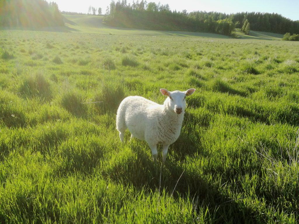 Markkulan lammastilan lammas kesäniityllä
